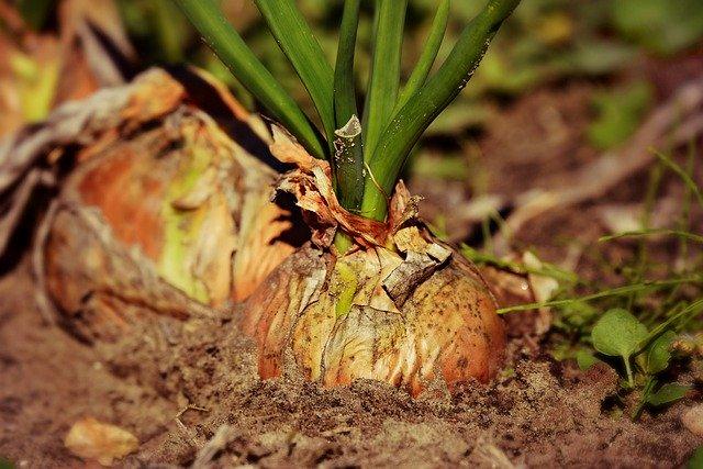 cibule, rostlina